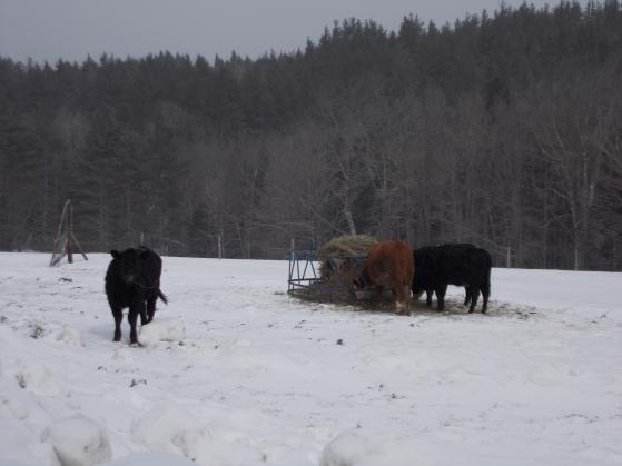 Photo: Cows Watching Snowstorm